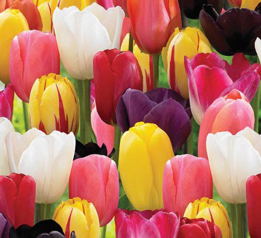Tulip_Darwin_Mixed