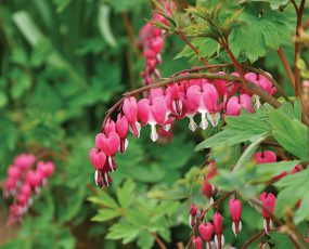 Bleeding_Heart_3
