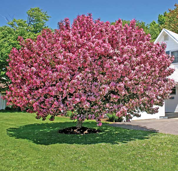 Flowering crabapple tree radiant de groot inc perennials grow your own flowering trees radiant is a rounded crabapple that matures to 15 20 tall redbuds give way to single deep reddish pink flowers to 1 mightylinksfo