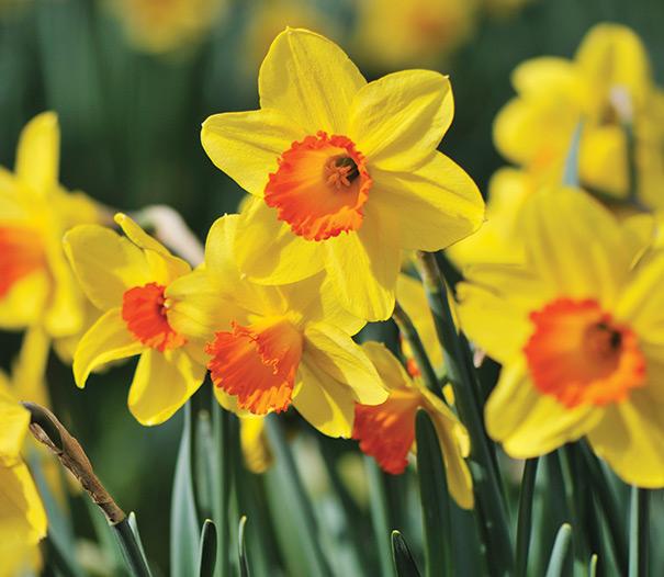 daffodil - photo #17