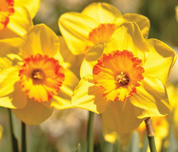 Daffodil_Hollywood_1