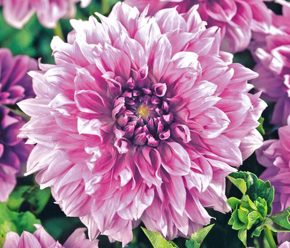 Dahlia-Decor-Giant-Lavender
