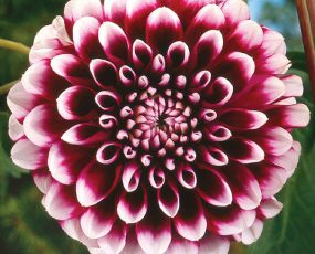 Dahlia_Edinburgh_detail