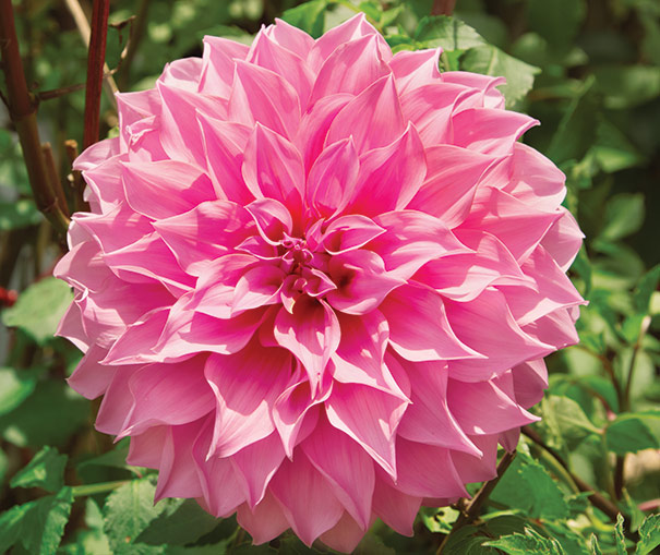 Dahlia pink giant de groot inc perennials daylilies fruits pink giant has striking pink flowers this dahlia quickly becomes a big and bold statement for the late summer garden very large 8 10 dinnerplate size mightylinksfo