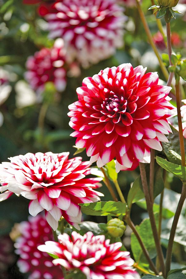 Dahlia red white giant de groot inc perennials daylilies this red white giant dahlia has striking red flowers that are tipped in white and quickly becomes a big and bold statement for the late summer garden mightylinksfo