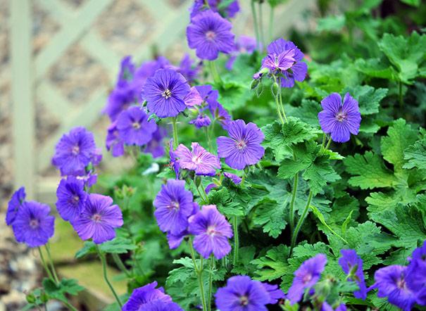 Geranium Hardy Or Crane S Bill Sanguineum Johnson Blue