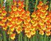 Gladiolus_Fiesta2