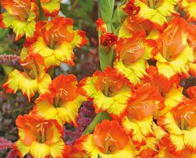 Gladiolus_Fiesta_detail