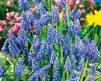 Grape-Hyacinths-Muscari