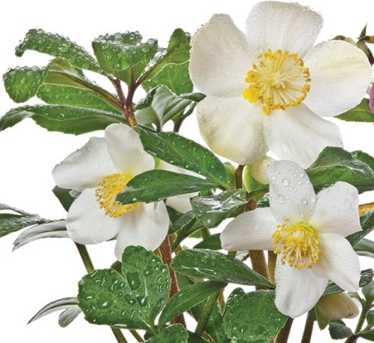 Hellebores_Christmas_Rose2