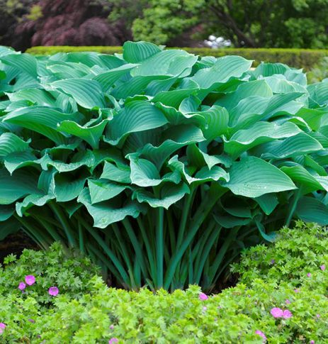 Hosta_Krossa_Regal_2