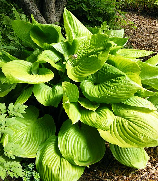 Hosta Sum And Substance Degroot