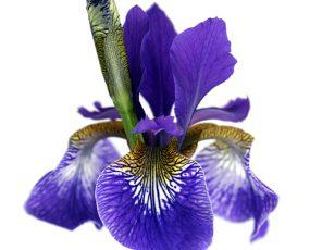 Iris_sibirica_CaesarsBrother_1