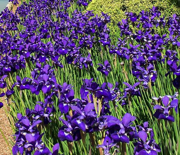 Iris Sibirica Caesar S Brother De Groot Inc Perennials Daylilies Fruits Vegetables