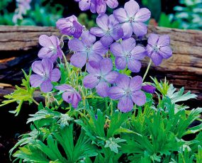 Johnsons_BlueGeranium