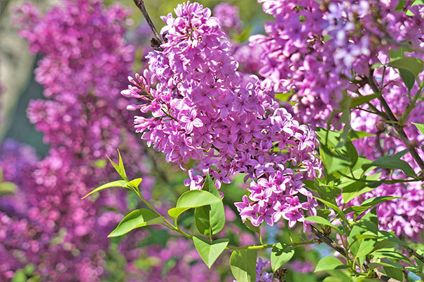 The Cers Of Fragrant Purple Flowers That Adorn Lilac Bush In Late Spring Means Summer Is Just Around Corner They Make A Wonderful Cut