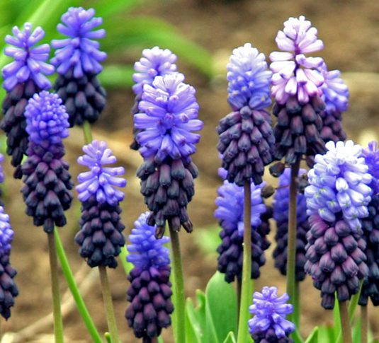 Muscari_latifolium_detail