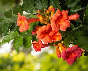 Orange_trumpet_vine