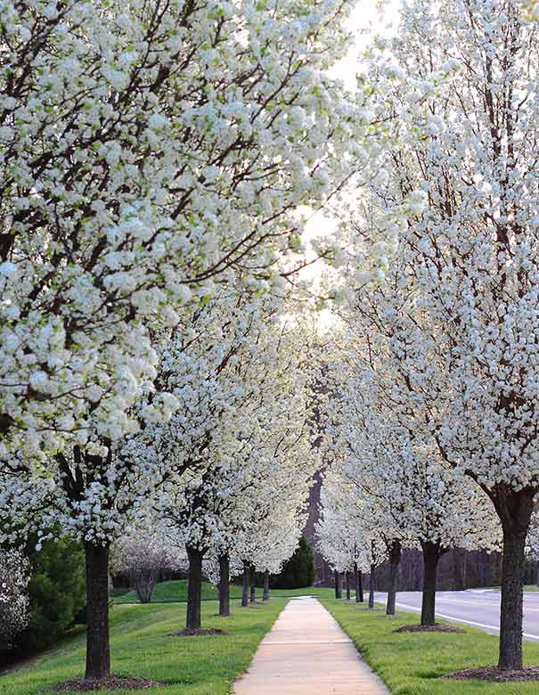 Flowering Pear Tree Cleveland Select De Groot Inc