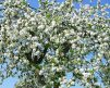 Pear_Tree_ClevelandSelect_blossoms