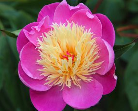 Peony_Bowl_of_Beauty