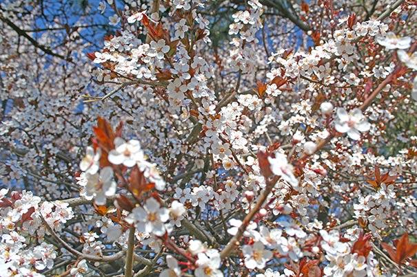 Flowering Plum Tree Thundercloud De Groot Inc