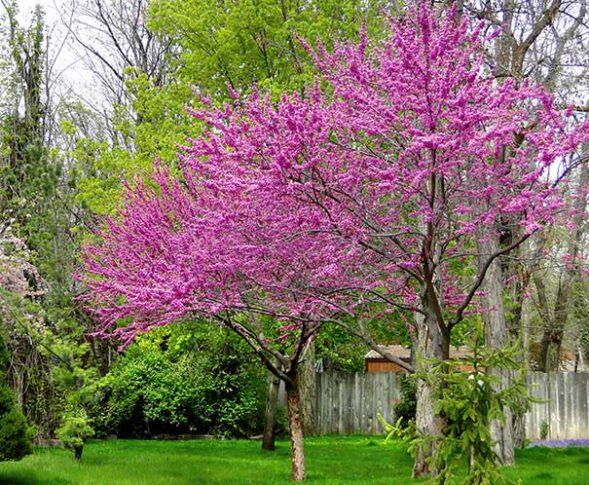 Redbud_Tree1
