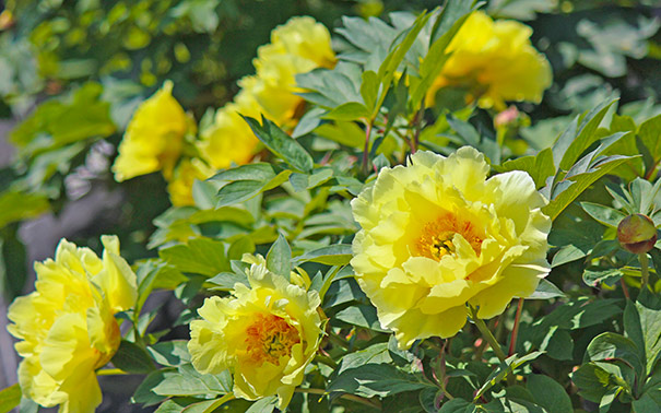 Paeonia Tree Peony Tree Suffruticosa High Noon Yellow Degroot