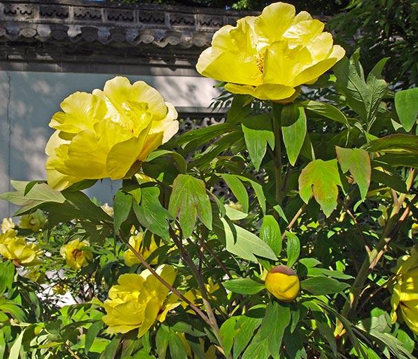 Paeonia tree peony tree suffruticosa high noon yellow degroot treepeonyhighnoon treepeonyhighnoon2 treepeonyhighnoon3 mightylinksfo