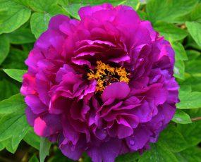 TreePeony_Shimadaijin_purple