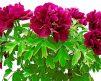 Tree_Peony_Shimadaijin_purple.jpg