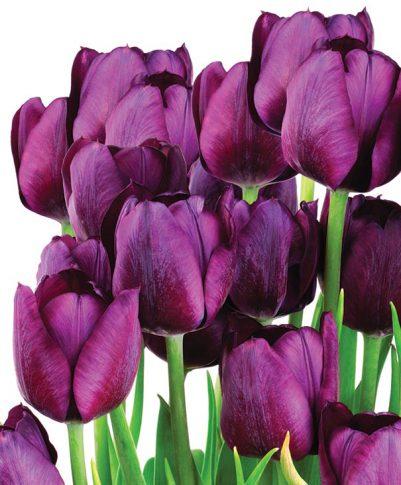 Tulip_Purple_Flag