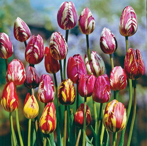 Tulips_Rembrandt