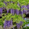 Rows of wisteria clusters drooping from the vine with foliage along them