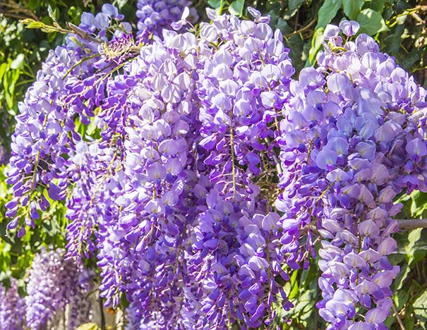 Clusters of blue-violet drooping wisteria blossoms with foliage fading in the background