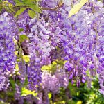 Clusters of blue-violet wisteria flowers drooping from the vine