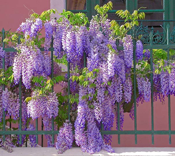 Drooping clusters of wisteria flowers crawling along a green ornate fence