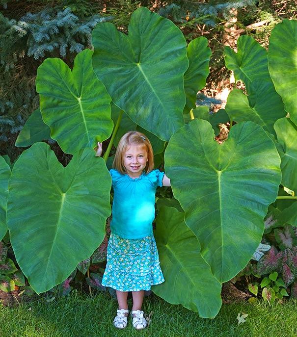 Elephant Ears De Groot Inc Perennials Daylilies Fruits