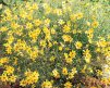 Coreopsis-Moonbeam