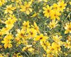 Coreopsis-Moonbeam_detail
