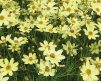 Coreopsis_Moonbeam_1