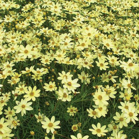 Coreopsis_Moonbeam_2