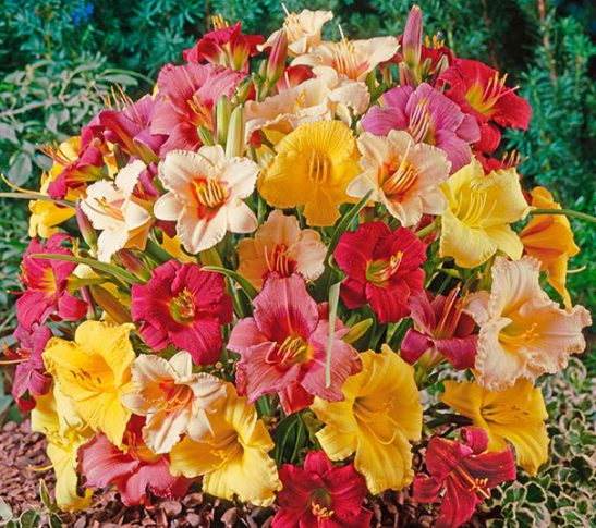 Daylilies_Mixed_LargeHZ