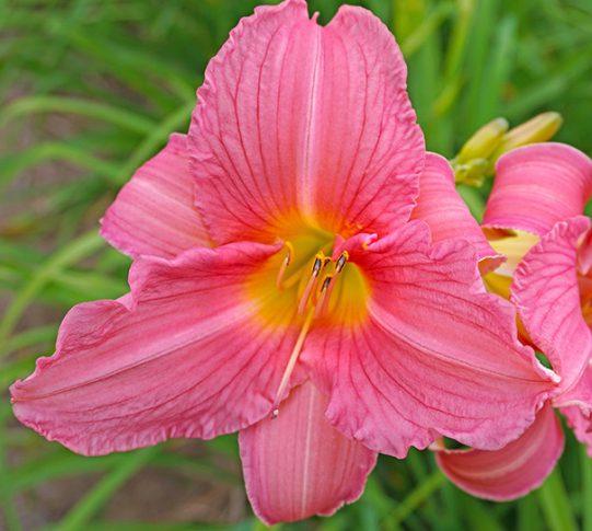 Daylily-Rosa-Bellini