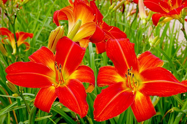 Daylily_Christmas_Time