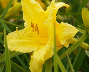 Daylily_HappyReturns