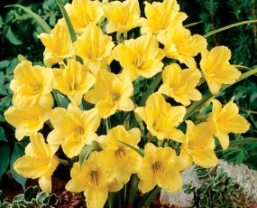 Daylily_HappyReturns_group