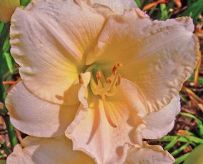 Daylily_Lullaby_Baby1