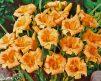 Daylily_Orange_Flurry