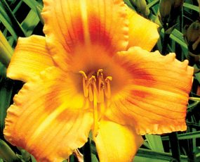 Daylily_Orange_Flurry_1